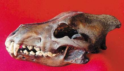 Canis Lupus Alces 2525252_orig